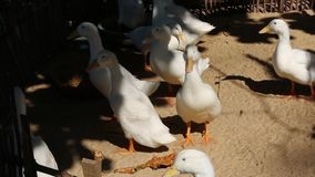 Ducks at Phu Quoc island, Kien Giang province, Vietnam. Ducks in coop, Phu Quoc island, Kien Giang province, Vietnam. Phu Quoc is blessed with favourable natural stock footage