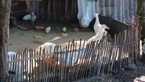 Ducks at Phu Quoc island, Kien Giang province, Vietnam stock video footage