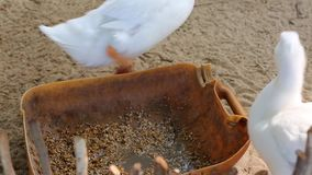 Ducks at Phu Quoc island, Kien Giang province, Vietnam. Ducks eating rice, Phu Quoc island, Kien Giang province, Vietnam. Phu Quoc is blessed with favourable stock footage