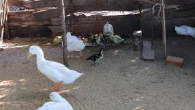 Ducks at Phu Quoc island, Kien Giang province, Vietnam. Farm, Ducks lying in coop, Phu Quoc island, Kien Giang province, Vietnam. Phu Quoc is blessed with stock video