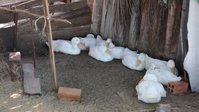 Ducks at Phu Quoc island, Kien Giang province, Vietnam. Ducks lying in coop, Phu Quoc island, Kien Giang province, Vietnam. Phu Quoc is blessed with favourable stock footage