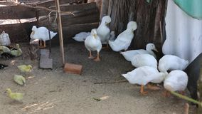 Ducks at Phu Quoc island, Kien Giang province, Vietnam. Many Ducks lying in coop, Phu Quoc island, Kien Giang province, Vietnam. Phu Quoc is blessed with stock footage