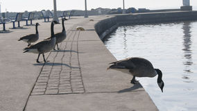 Ducks on a Pier. Located in Oakville Ontario Canada Royalty Free Stock Images