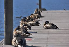 Ducks on a pier. Ducks sitting on a pier. Lake wildlife Stock Images