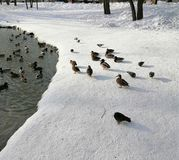 Ducks and pigeons nearby, each in its own environment royalty free stock image