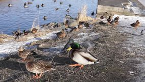 Ducks and pigeons stock video footage
