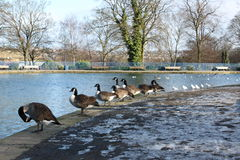 Ducks, Pigeons & Swans at the Public Lister Park lake in Bradford England Stock Images