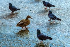 Ducks and pigeons walk on a frozen pond stock photography