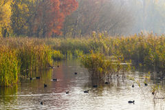 Ducks and plants in river delta Stock Photography