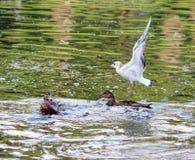 ducks platyrhynchos Anas, которые идут подать хлеб плавая в белый парк Gatchina озера Стоковое Изображение RF