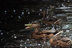 ducks platyrhynchos Anas, которые идут подать хлеб плавая в белый парк Gatchina озера Стоковые Фотографии RF