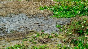 Ducks play in dirty water. It danger for environment Royalty Free Stock Photos