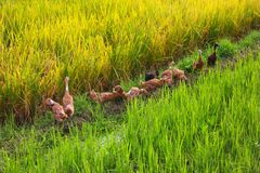 The ducks play and march on rice fields royalty free stock photography