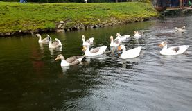 Ducks playing marco polo Stock Images