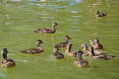 Ducks playing in the water - sunny day on vacation in Poland royalty free stock image