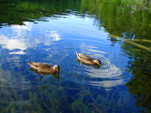 Ducks in Plitvice lake Royalty Free Stock Photography
