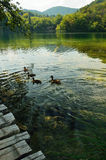 Ducks on a lake Stock Photography