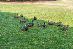 Ducks At Point Defiance. A group of ducks feeds at Point Defiance Park in Tacoma, Washington stock image