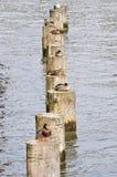 Ducks on poles. Several ducks lying on poles in a row Stock Photos
