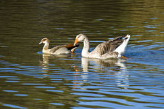 Ducks in a pond. Some ducks swimming around in a pond Stock Photography