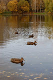 Ducks on a pond Royalty Free Stock Photos
