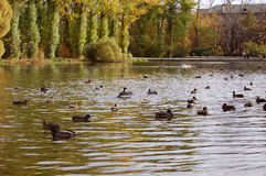 Ducks on a pond Stock Images