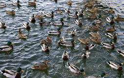 Ducks in the pond. Stock Images