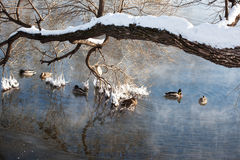 Ducks in the pond. In winter Royalty Free Stock Photos