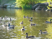 Ducks and pond. Ducks, pond, bushes royalty free stock image