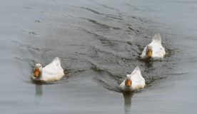 Ducks on a pond. Three white ducks swimming on a misty pond Royalty Free Stock Image