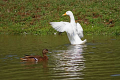 Ducks on Pond. Two ducks on a pond, one  white duck is stretching  after being under  water Stock Image