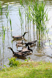 Ducks in pond. Ducks with duckling swimming in a pond Royalty Free Stock Image