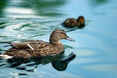 Ducks in a pond Royalty Free Stock Photo