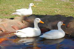 Ducks in pond. Two white ducks swimming in the water of the pond on a poultry farm outdoors Royalty Free Stock Photos