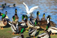 Ducks in the pond Stock Photography