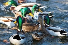 Ducks in the pond Stock Image
