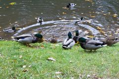 Ducks on the pond in autumn day. Stock Images