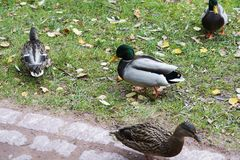 Ducks on the pond in autumn day. Royalty Free Stock Image