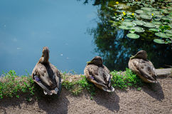 The ducks on the pond. The beautiful, ducks on the pond Stock Photos