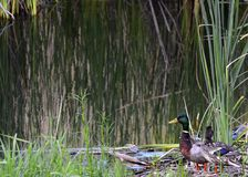 Ducks at the pond in California Royalty Free Stock Photography