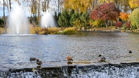 Ducks in pond clean their feathers in beautiful autumn park stock footage