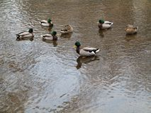 Ducks in a Pond with Copy Space Stock Image