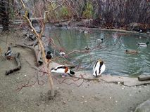 Ducks in a pond. Duck lake in Budapest Zoo, Hungary Royalty Free Stock Photos