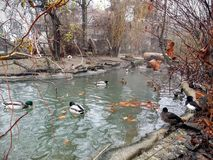 Ducks in a pond. Duck lake in Budapest Zoo, Hungary Royalty Free Stock Photo