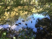 Ducks in a pond. Ducks in a cypress pond in Louisiana bayou during autumn Stock Images