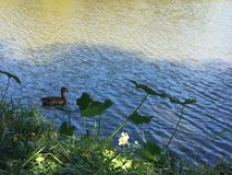 Ducks in a pond. Ducks in a cypress pond in Louisiana bayou during autumn Stock Image
