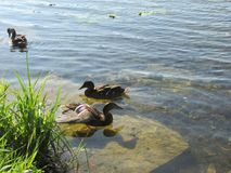 Ducks in the pond. In the Gatchina Park Stock Image