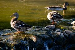 Ducks on the pond. Ducks on the stones near the pond Royalty Free Stock Photography
