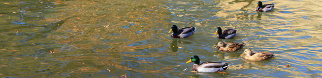Ducks in the pond in the fall-narrow Stock Photos