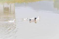 The ducks in the pond Stock Photography